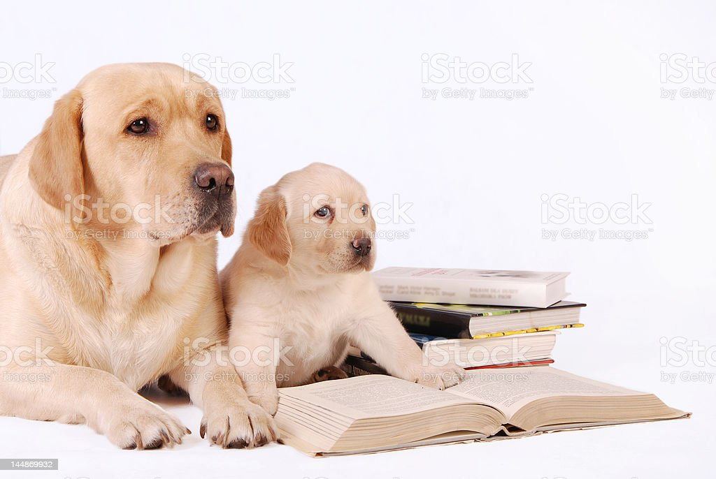 Little labrador puppy with his mother and books royalty-free stock photo