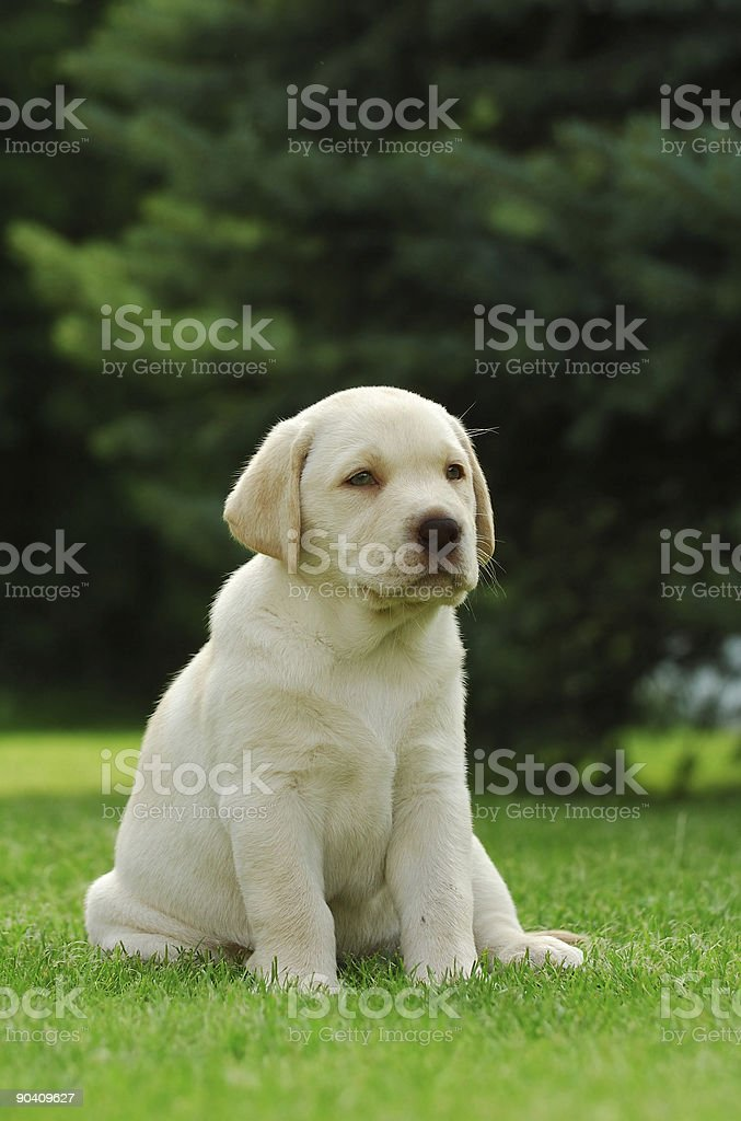 Little labrador retriever puppy portrait royalty-free stock photo