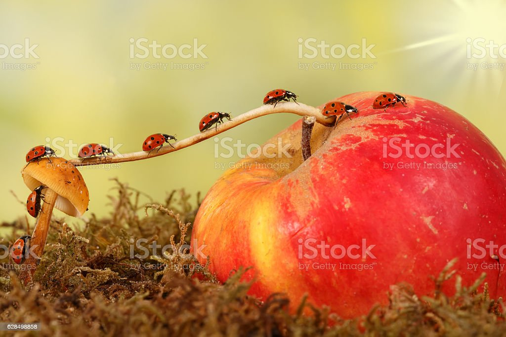 little ladybugs moves from fungus on apple. Animal humor stock photo