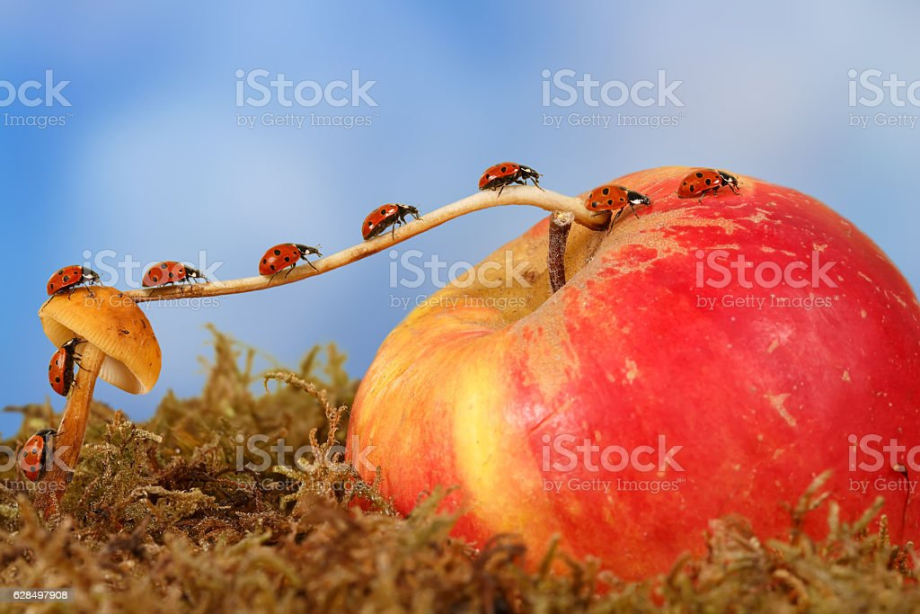 little ladybugs moves  from mushroom on Apple on sky background stock photo