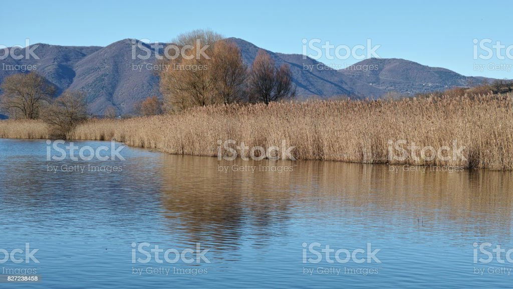 little lake and common reed stock photo