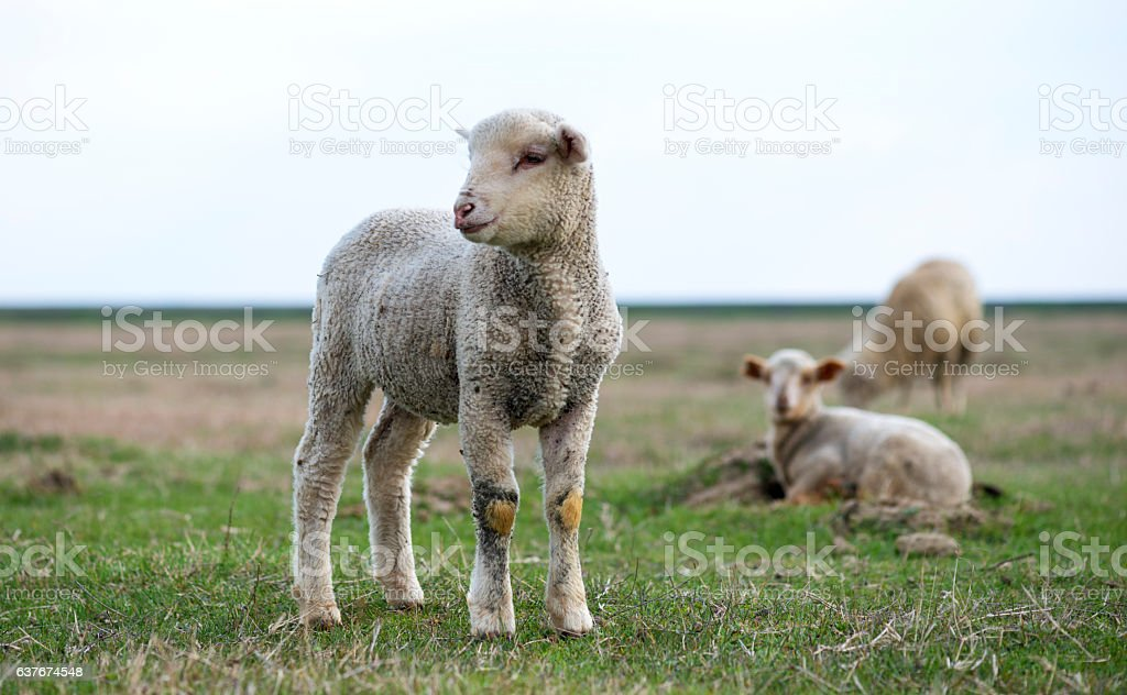 little lamb in the pasture stock photo