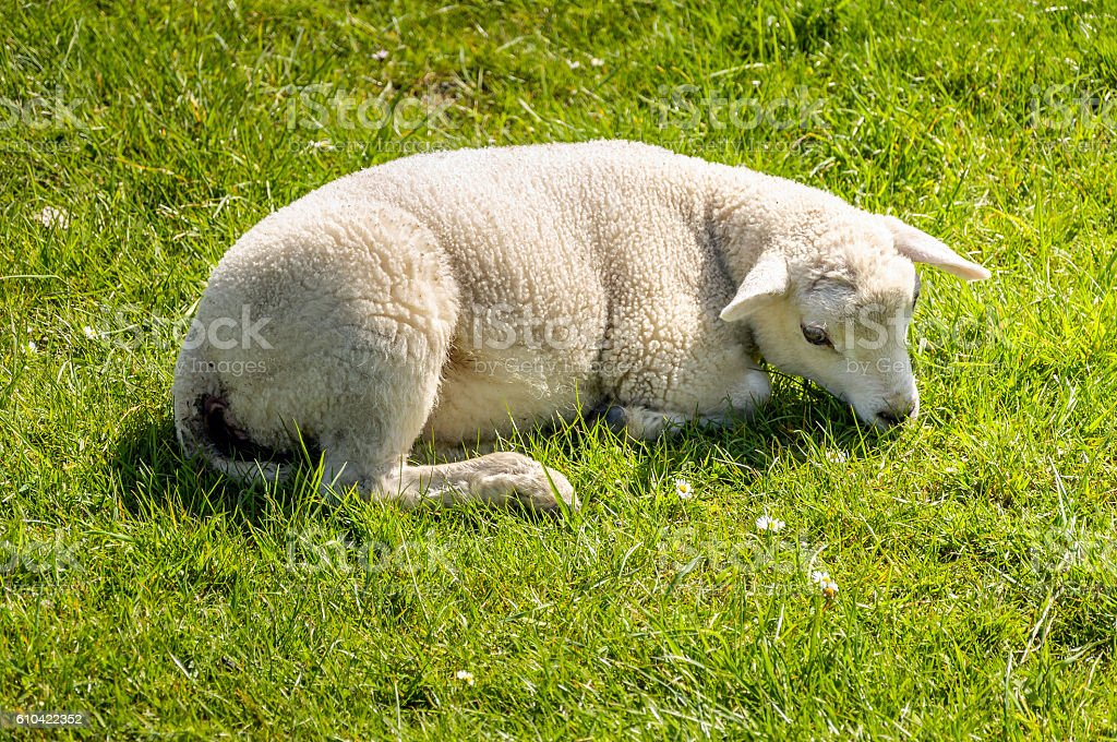 Little lamb lies in the fresh grass in springtime stock photo