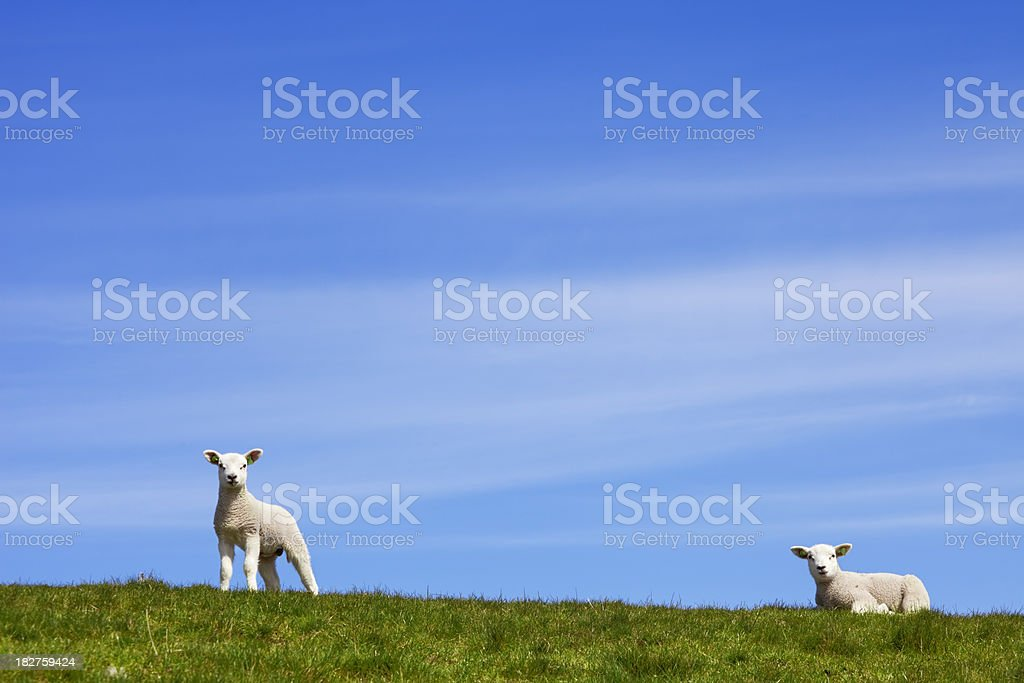 Little lambs on a grassy hill on a sunny day royalty-free stock photo