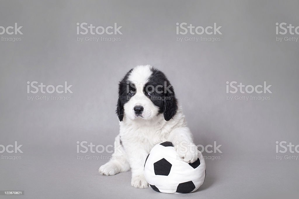 Little Landseer puppy with soccer ball portrait royalty-free stock photo