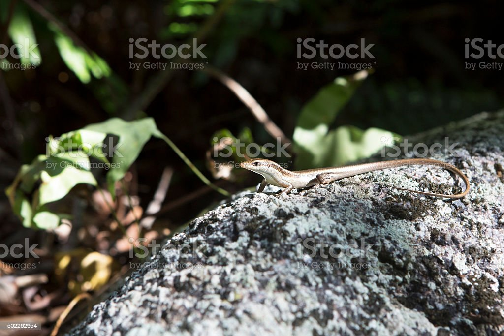 Little lizard basking on rock. Seychelles stock photo