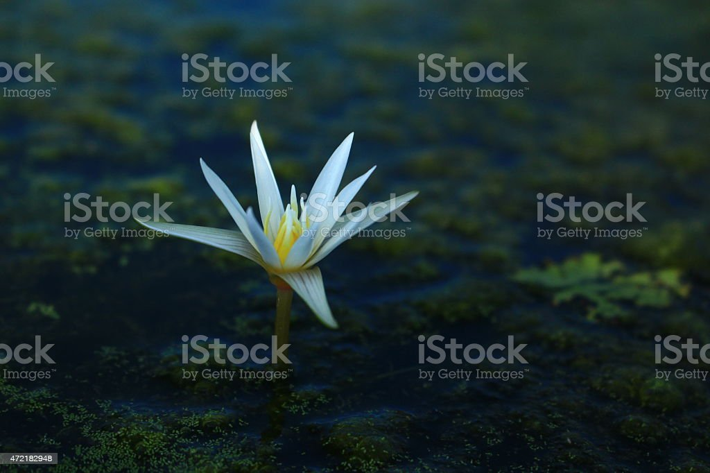 Little Lotus stock photo