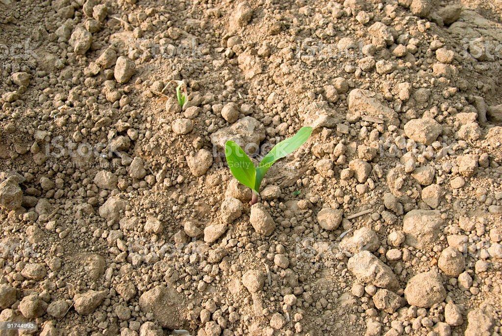 Little mais plant royalty-free stock photo