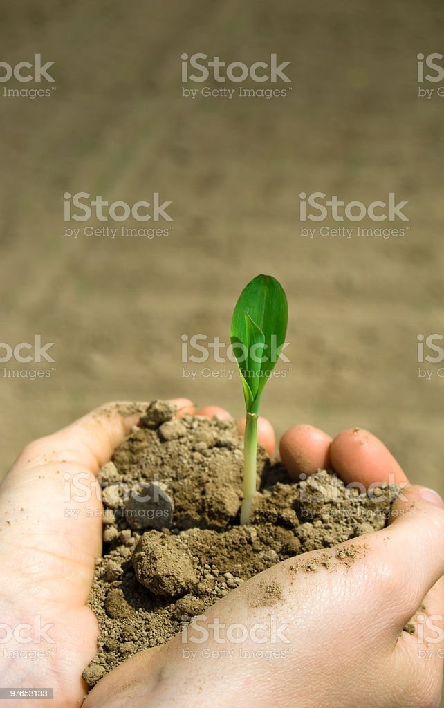 Little maize plant royalty-free stock photo