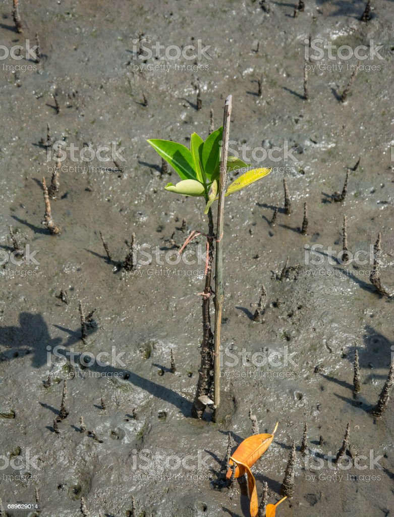 little mangrove trees showing root in the forrest, Thailand stock photo
