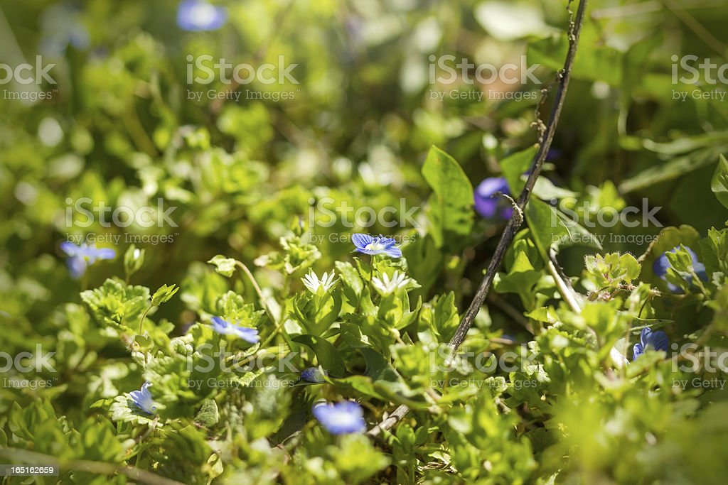 Little meadow flowers in spring royalty-free stock photo