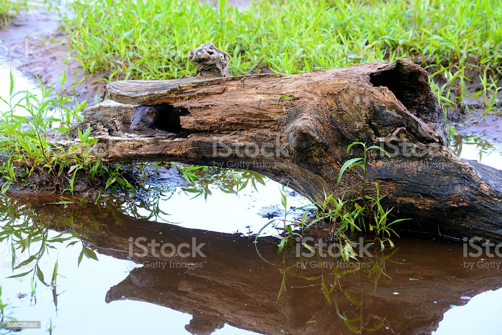 Little Mink sticks his head out of a log. stock photo