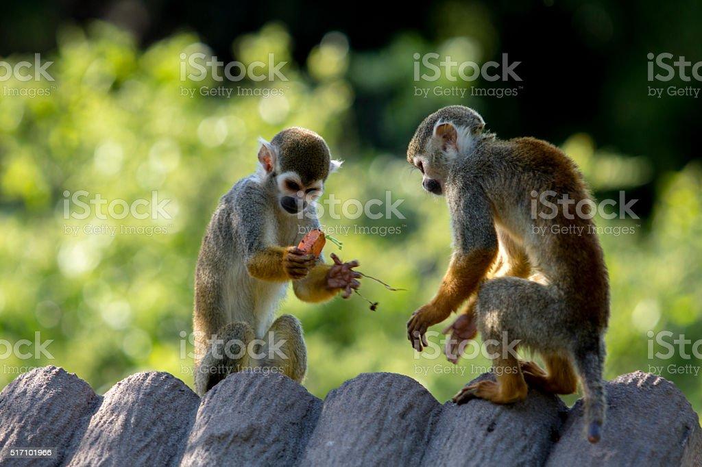 little monkeys playing on roof stock photo