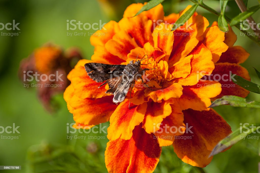 Little moth sits on a flower stock photo