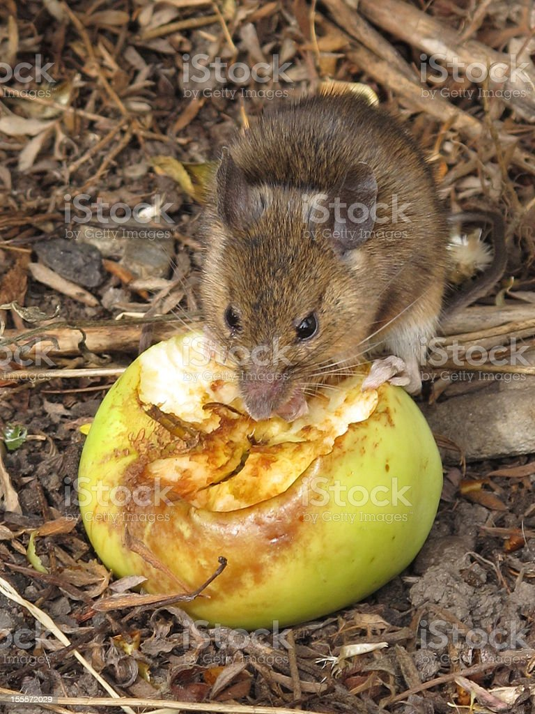 Little Mouse royalty-free stock photo