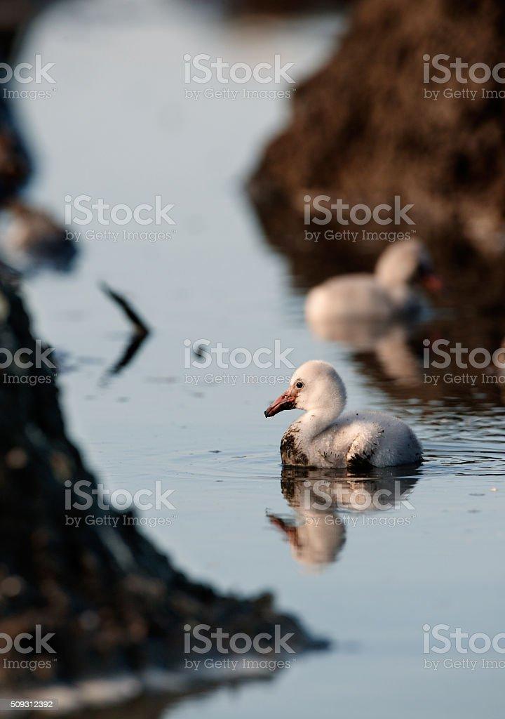 Little newborn flamingos stock photo