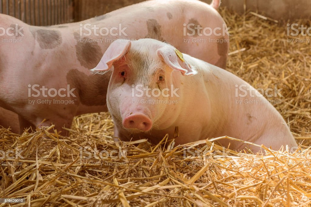A little, nosy piglet in a straw covered pigsty. stock photo