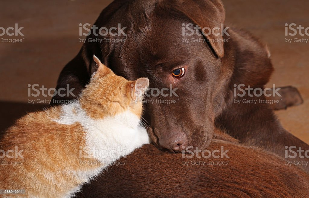 Little orange cat with a brown labrador stock photo