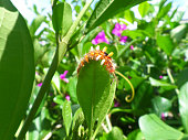 Little orange caterpillar climbing on the edge of green leaf