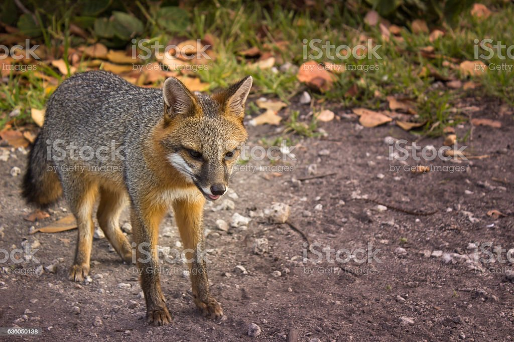 Little orange fox hunting stock photo
