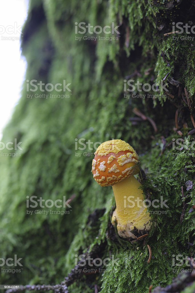 Little Orange Mushroom royalty-free stock photo