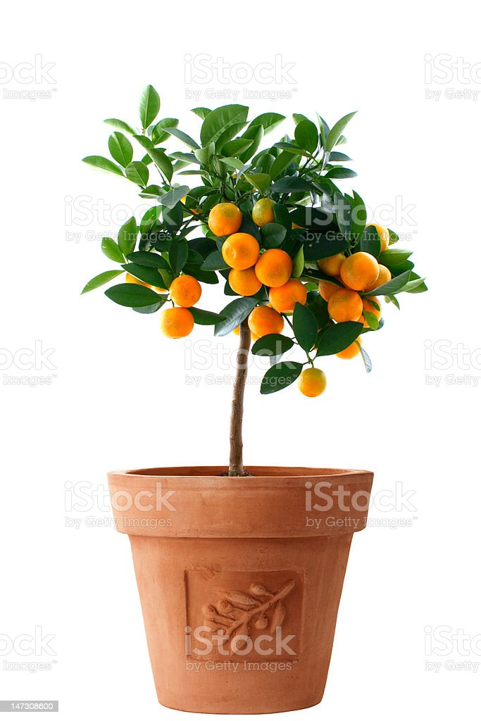 Little orange tree isolated stock photo