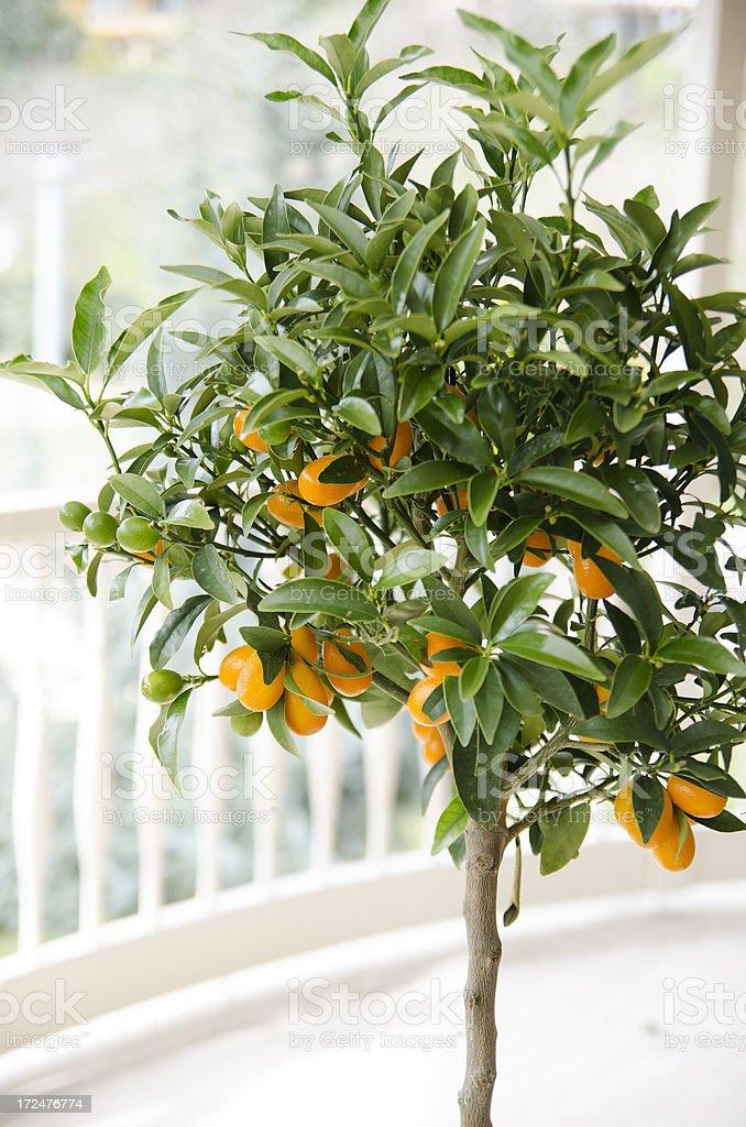 Little orange tree royalty-free stock photo