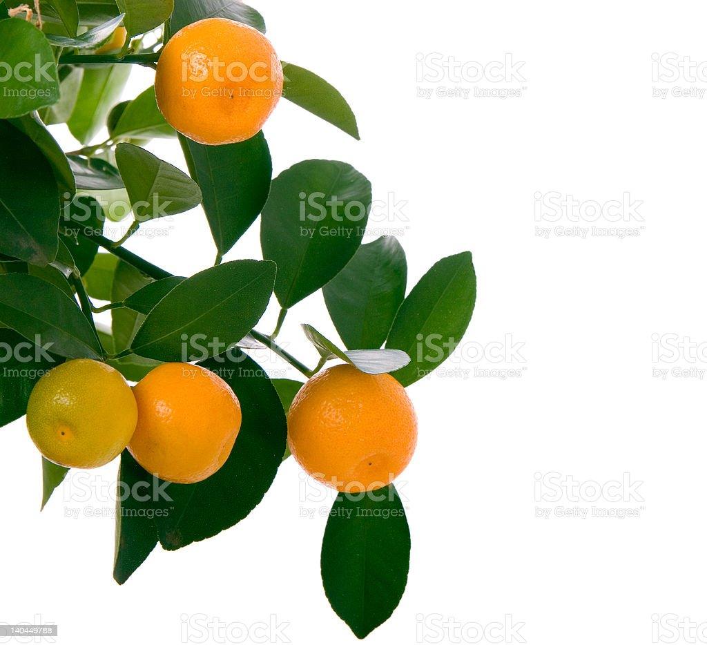 Little oranges tree stock photo