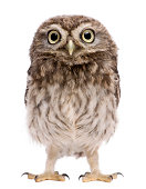 Little Owl, 50 days old, Athene noctua, standing.