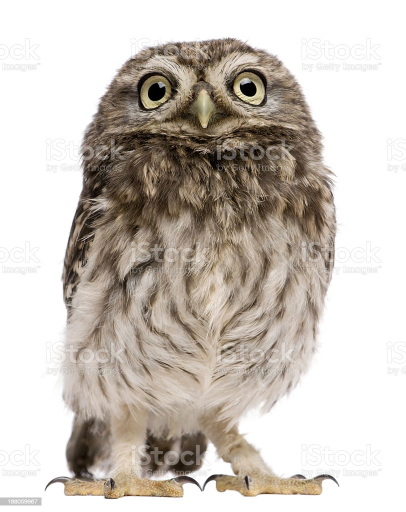 Little Owl, 50 days old, Athene noctua, standing stock photo