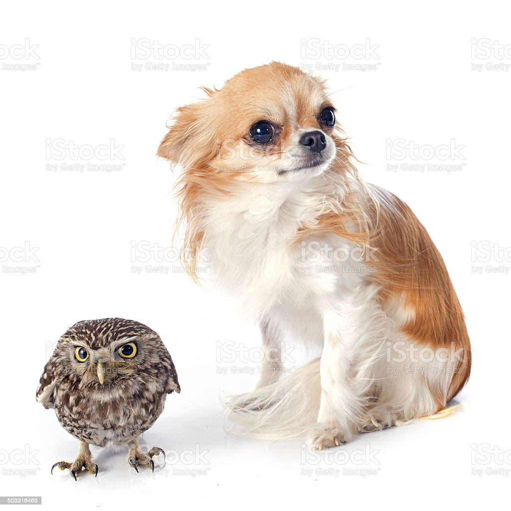 Little owl and chihuahua stock photo