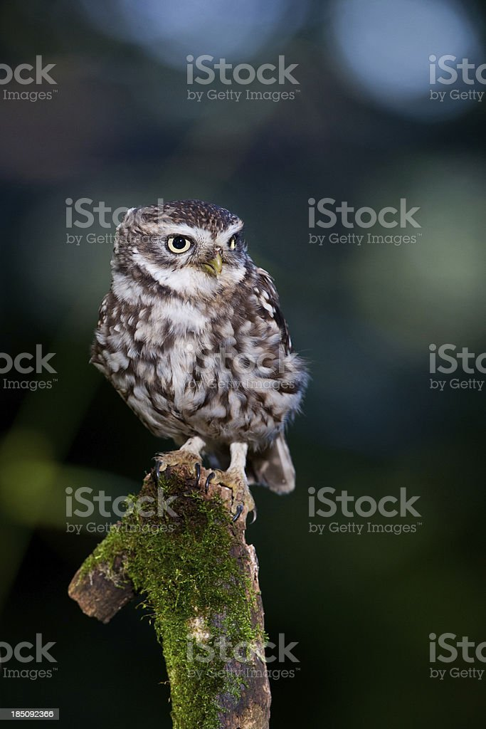 Little Owl at Dusk stock photo