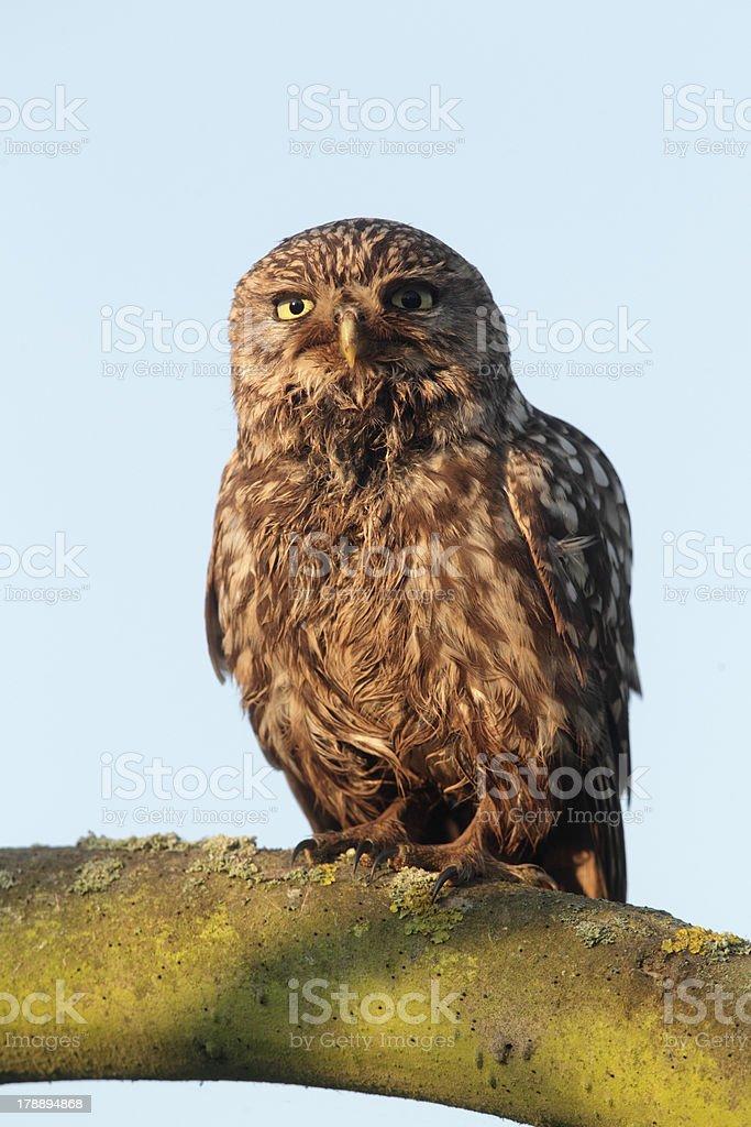 Little owl, Athene noctua stock photo