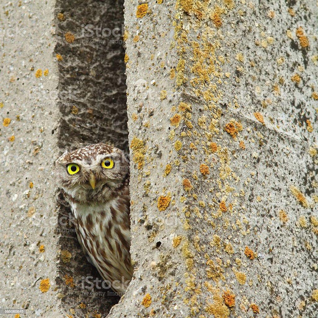 little owl hiding in cement pillar stock photo