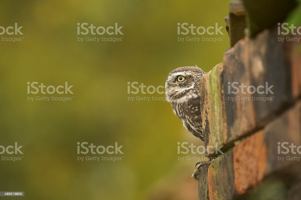 Little Owl (Athene noctua) in a old barn stock photo
