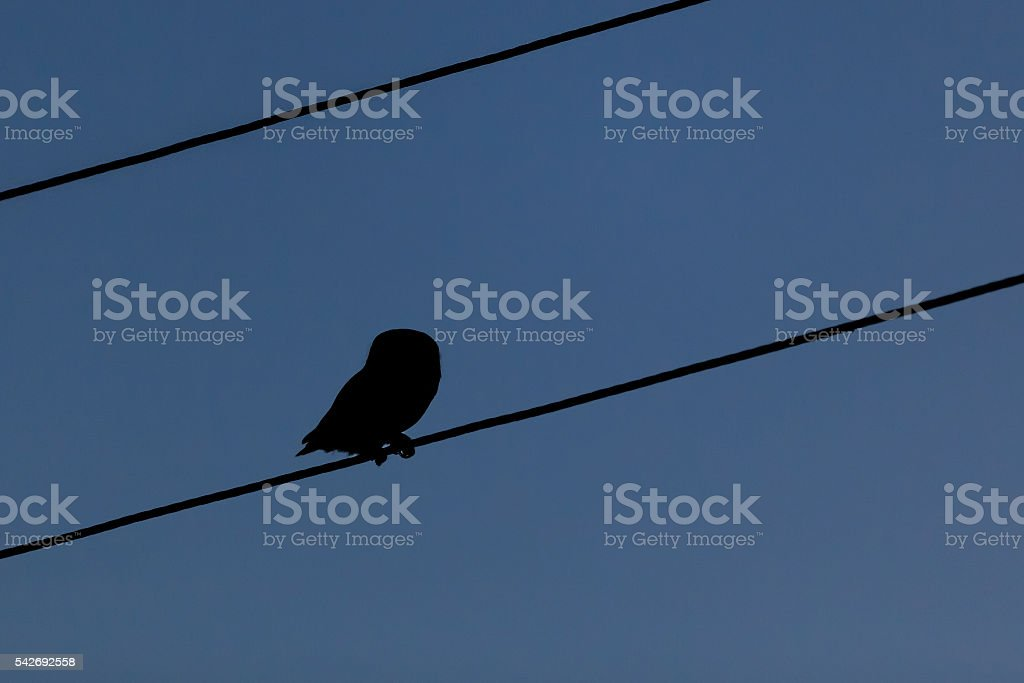 Little owl in the dark stock photo