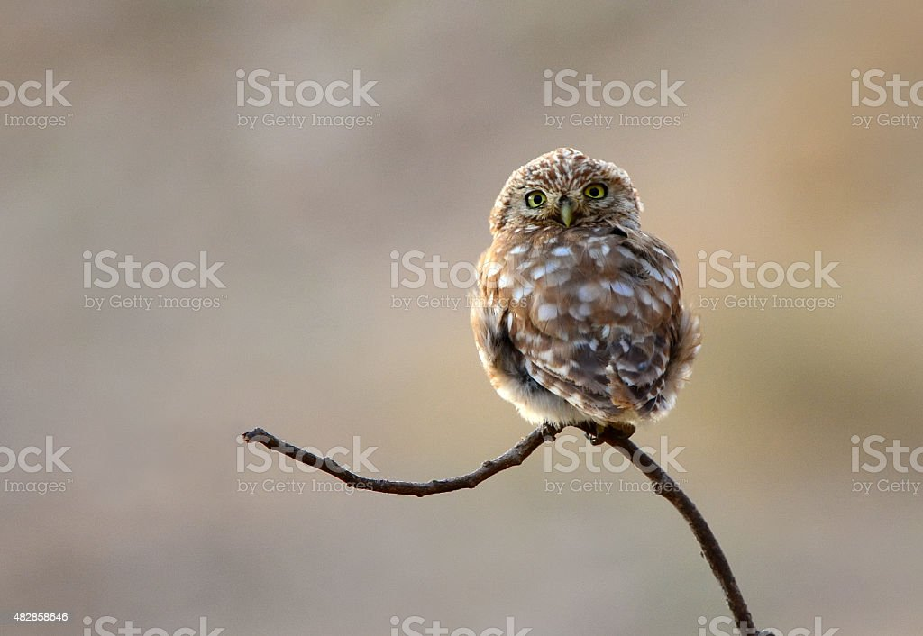 Little owl looking backwards stock photo