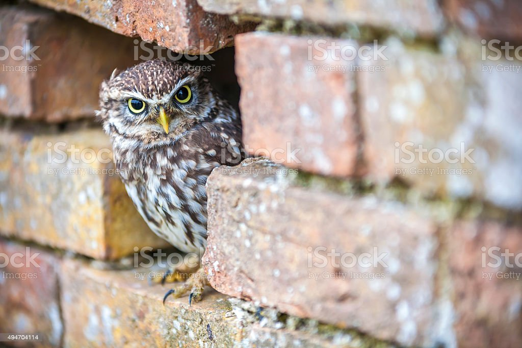 Little Owl Looking Out of a Hole in a Wall stock photo