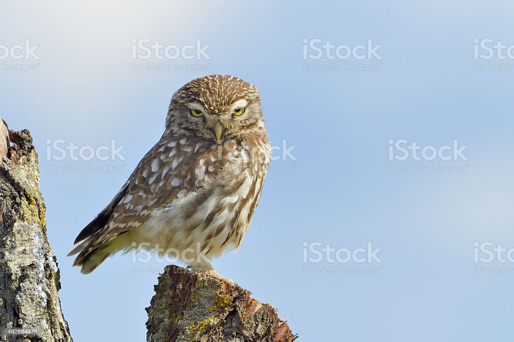 Little owl on a old tree. stock photo