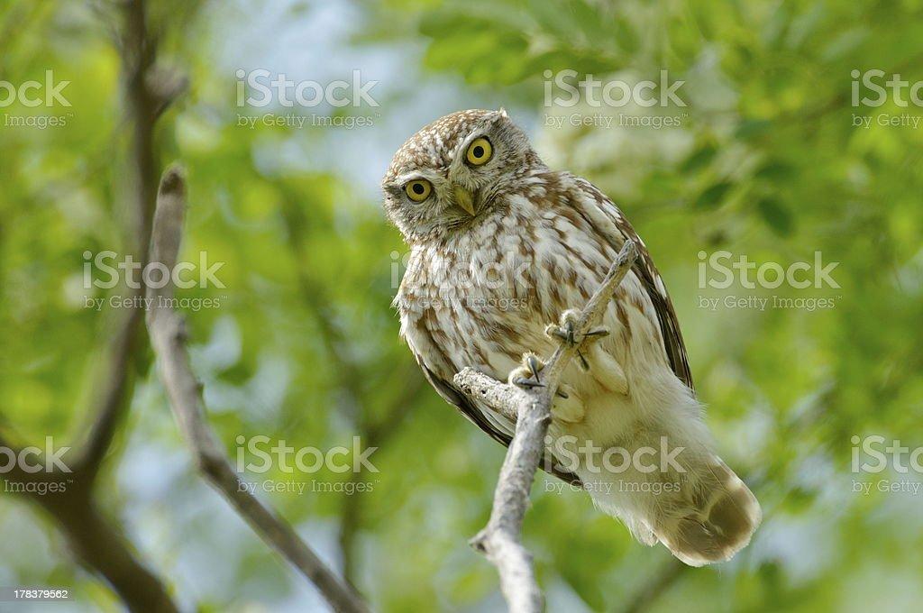 little owl on branch stock photo