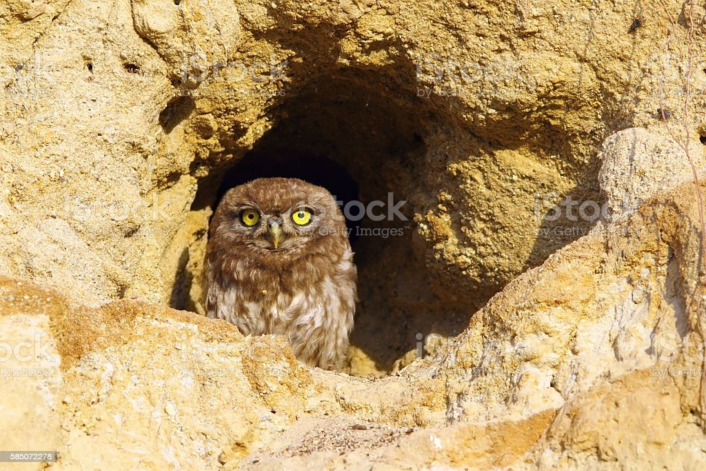 little owl on burrow stock photo