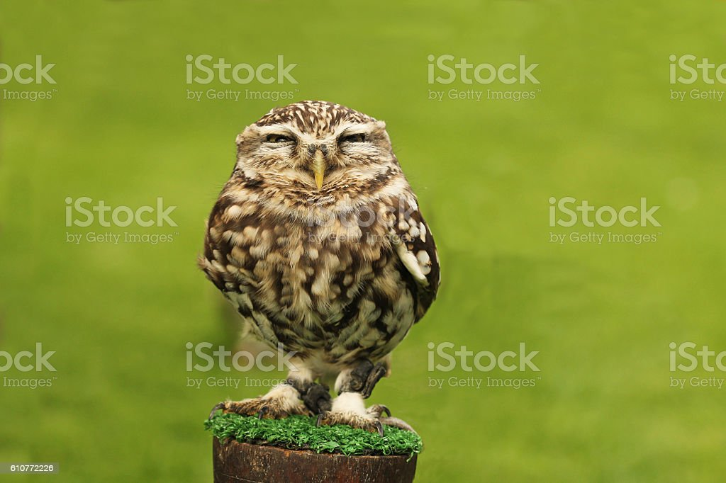 Little Owl on perch stock photo