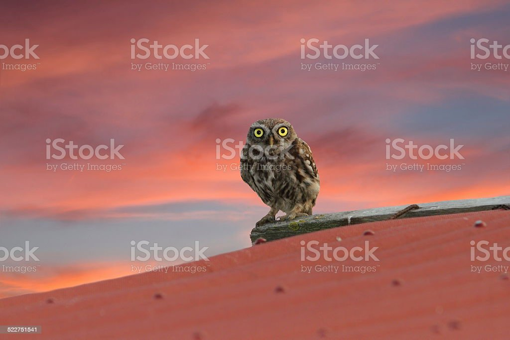little owl on the roof stock photo