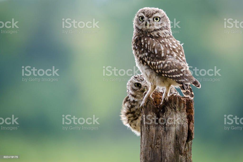 Little Owl Pair stock photo