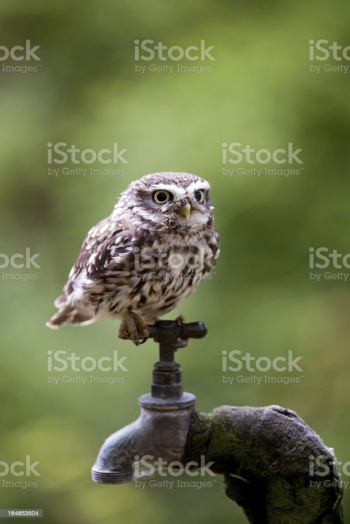 Little Owl perched on a garden tap at dusk. stock photo