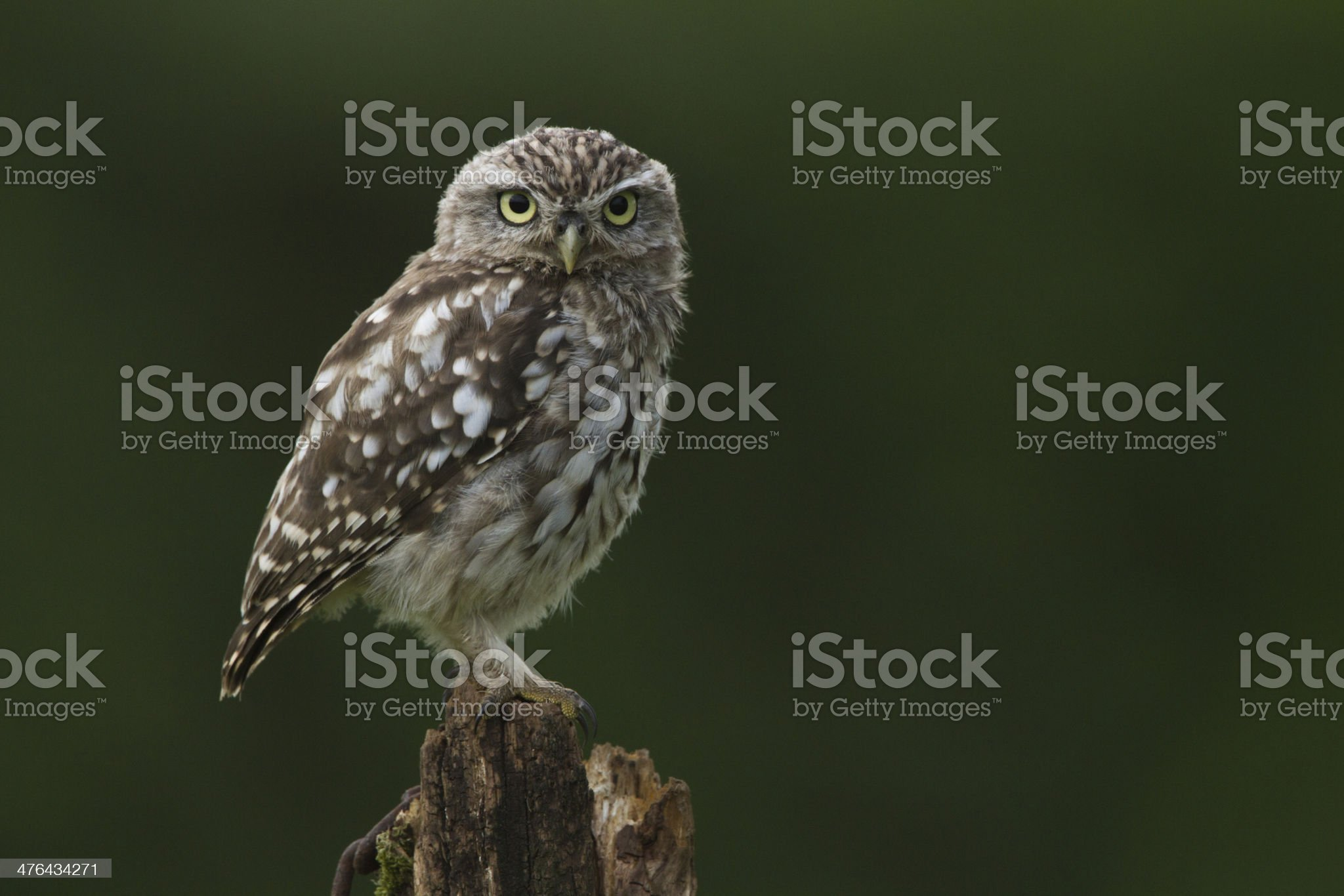 Little Owl Perched On A Post royalty-free stock photo