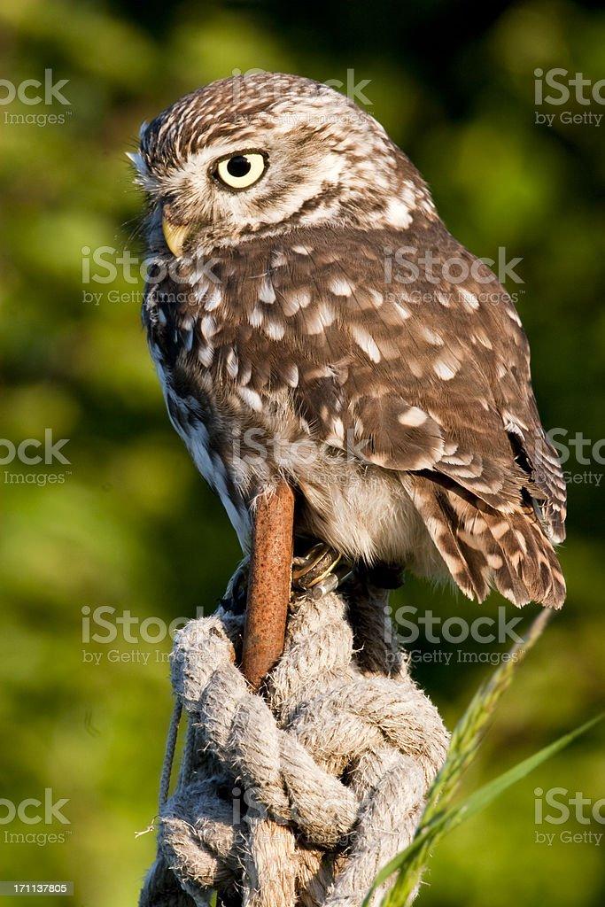 Little Owl stock photo