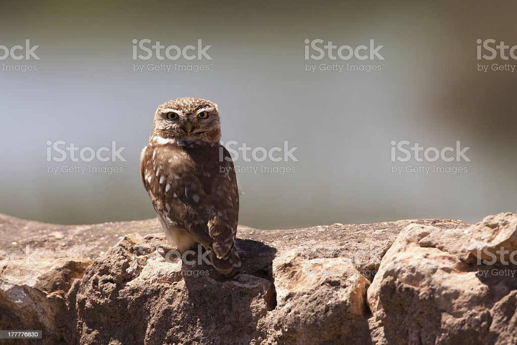 Little owl royalty-free stock photo