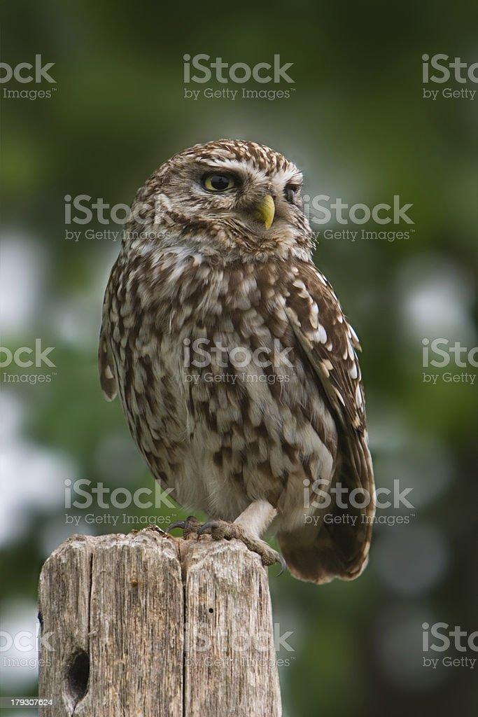 Little owl (Eemdijk, the Netherlands) stock photo