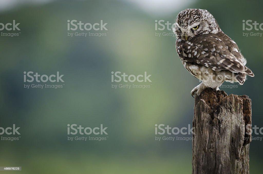 UK Little Owl stock photo
